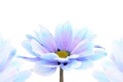 голубой цветок над белизной Стоковые Изображения RF
