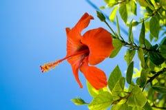 голубой цветок над красным небом стоковое изображение