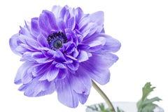 Голубой цветок на белизне Стоковое Изображение RF