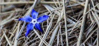 Голубой цветок на естественной предпосылке соломы стоковые изображения rf