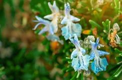 Голубой цветок на запачканной предпосылке Экзотический цветок Весенний сезон Красивый цветок и зеленые листья в утре с солнечным  стоковые фото