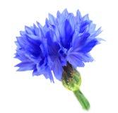 голубой цветок одно Стоковая Фотография RF