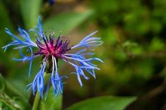 Голубой цветок поля на зеленой предпосылке Стоковые Фотографии RF