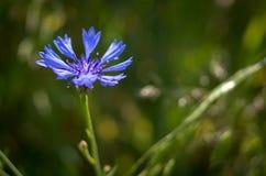 Голубой цветок поля на зеленой предпосылке Стоковые Фото