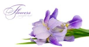 голубой цветок радужки Стоковое Изображение RF