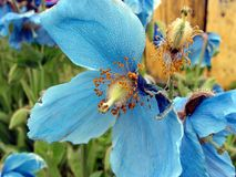 голубой цветок росы Стоковое Изображение