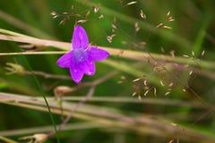 Голубой цветок с дождевыми каплями, роса поля Стоковые Фотографии RF