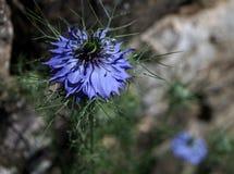Голубой цветок с тимоном черноты ` имени! стоковые изображения