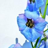 голубой цветок Стоковая Фотография RF