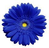 Голубой цветок gerbera, белизна изолировал предпосылку с путем клиппирования closeup Отсутствие теней Для конструкции стоковые фотографии rf