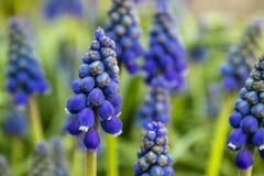 Голубой цветок Muscari, небольшие колоколы весны r стоковое изображение rf