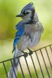 голубой центральный парк jay Стоковое Изображение RF