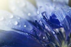 голубой цикорий Стоковое Изображение RF