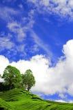 голубой чай плантации вниз Стоковое Изображение