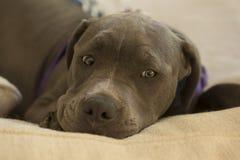 Голубой щенок питбуля носа Стоковое Изображение