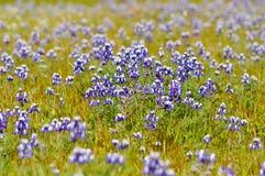 голубой bonnet texas стоковые фотографии rf