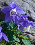 голубой columbine вентилятор Стоковая Фотография RF