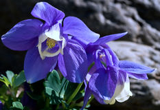 голубой columbine вентилятор Стоковое Фото