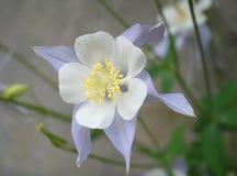голубой columbine свет цветка Стоковые Фото