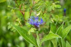 Голубой Cornflower цветка на предпосылке зеленой травы Голубые cornflowers в саде wildflower Раз общий внутри Стоковые Фото