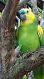 Голубой Crested попугай Амазонки на парке птицы видеоматериал