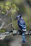 голубой cyanocitta jay cristata Стоковые Фотографии RF