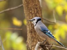 голубой cyanocitta jay cristata Стоковая Фотография
