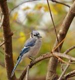 голубой cyanocitta jay cristata Стоковые Изображения RF