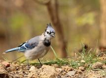 голубой cyanocitta jay cristata Стоковое Изображение RF