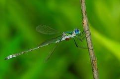 голубой damselfly Стоковая Фотография RF