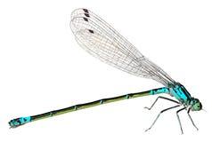 Голубой Dragonfly изолированный на белой предпосылке Макрос стоковые фото