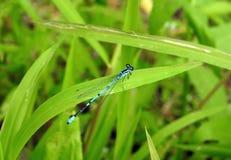 Голубой dragonfly на траве, Литве Стоковые Изображения