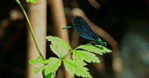 Голубой dragonfly обхватывает кабель акции видеоматериалы