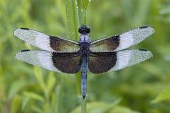 Голубой Dragonfly покрытый с росой Стоковые Изображения