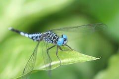 голубой dragonfly Стоковое Изображение