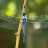 голубой dragonfly Стоковая Фотография