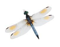 голубой dragonfly Стоковое Фото