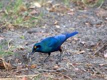 голубой eared большой starling Стоковые Изображения RF