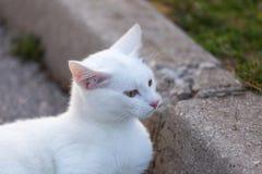 голубой eyed кот стоковые изображения
