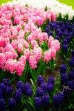 Голубой flowerbed гиацинта Стоковая Фотография RF