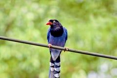 голубой formosan magpie стоковое изображение