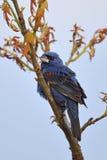 голубой grosbeak Стоковые Изображения