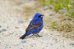 голубой grosbeak Стоковое Фото