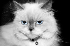 голубой himalayan пункт Стоковые Фотографии RF