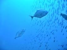 голубой hunt Стоковое Фото