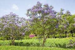 Голубой Jacaranda Стоковые Фотографии RF