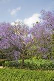 Голубой Jacaranda Стоковые Изображения