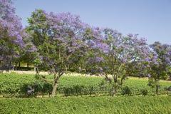 Голубой Jacaranda Стоковая Фотография RF