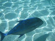голубой jack рыб Стоковые Изображения RF