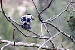 Голубой jay сидит на сухой ветви Стоковое фото RF